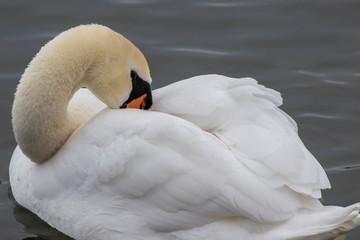 In de dag Zwaan swan preening