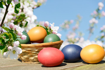 Easter eggs in the basket  between blooming apple trees in spring
