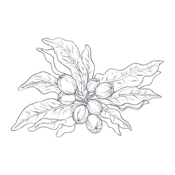 Vector illustration of shea nuts small bush drawn by lines. Design for shea butter or balm organic products packaging and label. Healthy and natural
