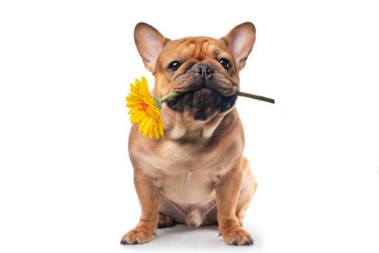 French bulldog with yellow gerbera in his teeth