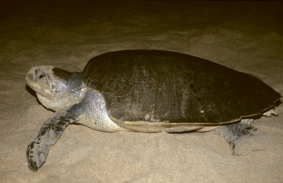 An Olive Ridley Sea turtle (female) that has come for nesting on Rushikulya beach, Ganjam dist. of Orissa, India.