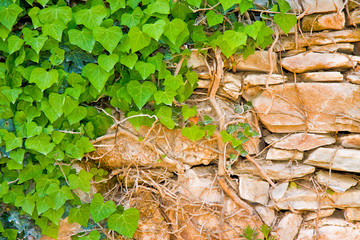 Old stone wall covered with fresh green ivy