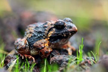 Zakerana rufescens  or  Malabar wart frog, reddish burrowing frog, or rufescent burrowing frog endemic to the Western Ghats, India