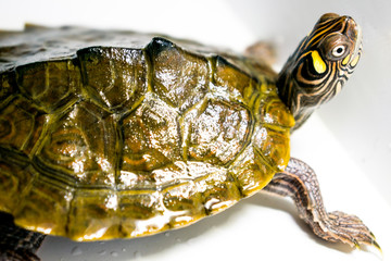 very beautiful turtle. small size turtle living in water. Green and yellow