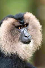 Lion Tail Macaque, Macaca silenus, Endangered withPopulation decreasing, Western Ghats, India