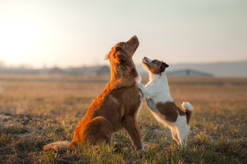Photo sur Plexiglas Chien two dogs are playing on the field. Nova Scotia Duck Tolling Retriever and a Jack Russell Terrier