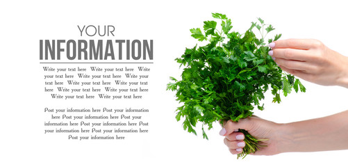 Bunch of fresh green parsley in hand on white background isolation, copy space
