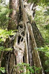 Strangler fig tree from Costa Rica