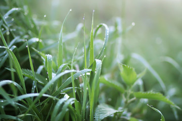 Obraz Close up of fresh green wet grass with water drops in the early morning in countryside - fototapety do salonu