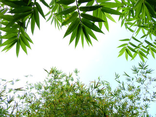 Wall Mural - bamboo tree in garden