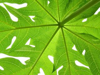 Wall Mural - green papaya leaf texture