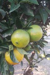 Green, unripe oranges on the tree.