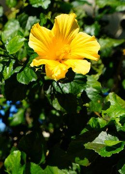 Yellow hibiscus flower in bloom