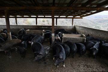 Pigs are seen in a breeding farm near the city of Katerini in northern Greece