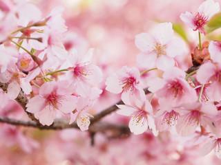 Fotobehang Kersenbloesem 大寒桜が満開な日本の春の風景