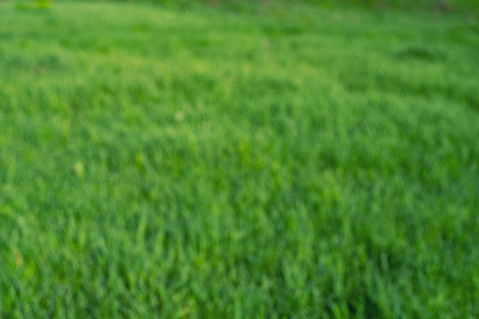 Blurred Green grass natural background texture, Lawn for the background