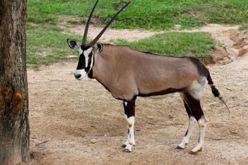 The male oryx antelope in sawanna garden
