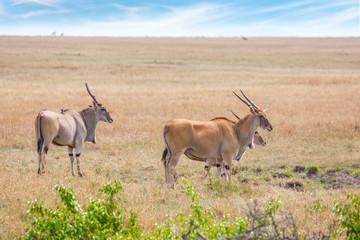 Photo sur Toile Antilope Antelopes Eland kanna