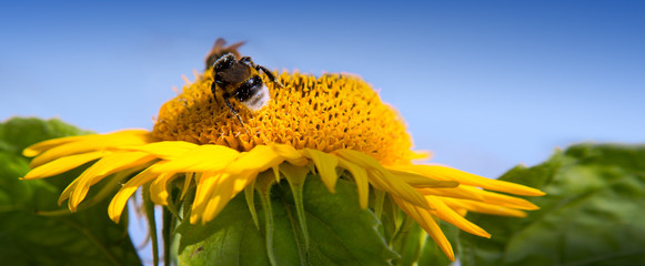 Sunflower with bee on a warm summer day.