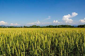 wheat field in the Zurcher oberland region