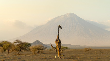 Ingelijste posters Giraffe giraffes in the Ngorongoro crater with the Ol Doinyo Lengai volcano in the background