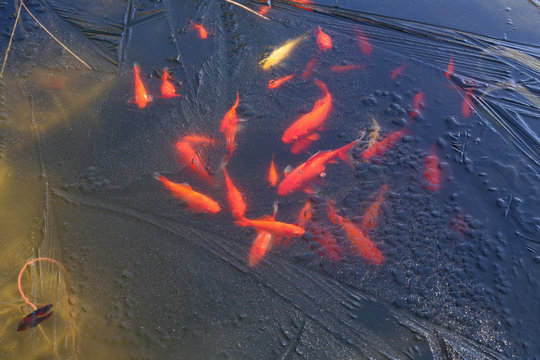 Goldfish under the ice of a frozen pond