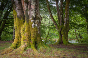 Tilt shift effect of old beech trees covered with moss, Glencoe, Scotland. Concept: Scottish famous panoramas, mysterious ancient places, Scottish nature