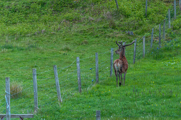 Deer in the meadow at a fence. Concept: animal life, man-animal relationship