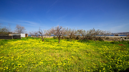 Procida (Napoli, Italy) - Field and yellow flowers in springtime
