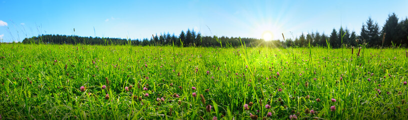 Clover flowers field in sunset. Spring background.