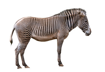 Aluminium Prints Zebra Grévy's zebra / imperial zebra (Equus grevyi) native to Kenya and Ethiopia against white background