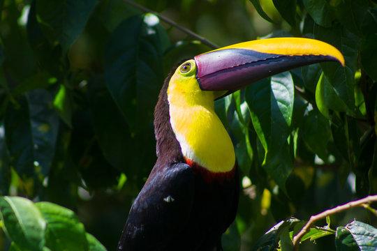 Yellow throated toucan costa rica