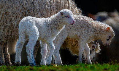 Fototapete - newborn lambs close up