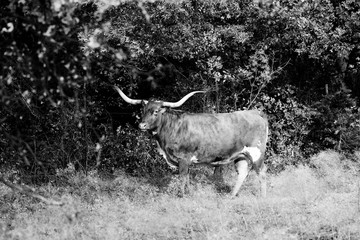Wall Mural - Texas Longhorn cow in black and white.