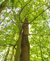 Symbiose - zwei Bäume eng umschlungen im Wald