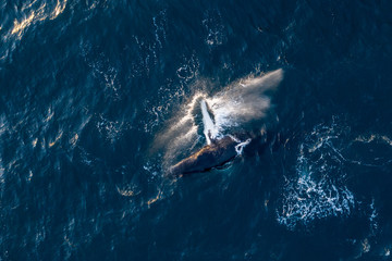 Tuinposter Vissen Amazing drone shot of jumping whale with water splashes