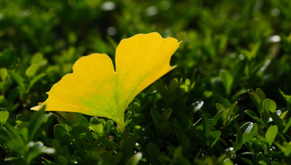 Close-up of a yellow, autumnal discolored leaf from the ginkgo tree, which lies on a green natural surface and glows in the sun.