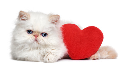 Cute lover Valentine persian colourpoint kitten with a red heart