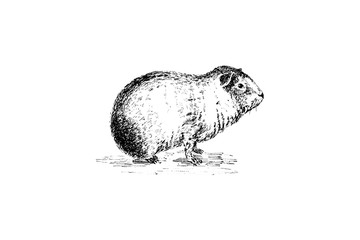 Guinea pig, Cavia - Vintage Engraved Illustration 1889