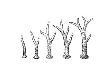 Roe deer horns - Vintage Engraved Illustration 1889
