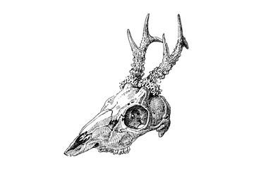 Roe deer Skull - Vintage Engraved Illustration 1889