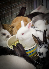 White rabbits are eating food among many different rabbits of various colors.