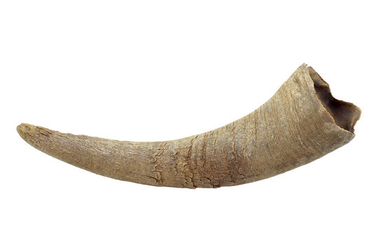 asian buffalo horn isolated on white background