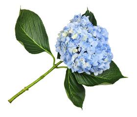 Tuinposter Hydrangea Blue hydrangea flower
