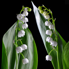 Blossoming lily of the valley (Convallaria majalis) with green leaf isolated on a black background. Spring flower.