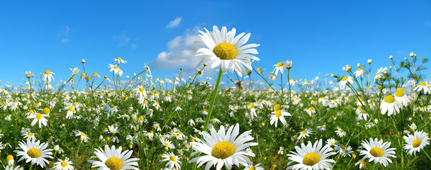 Marguerite daisies on meadow with blue sky at the background. Spring flower.