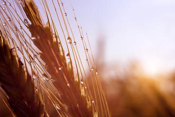 Rain drops on ear of barley at sunrise.
