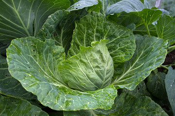 head of green cabbage with leaky leaves