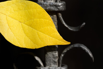 Close-up of a yellow leaf in autumn, which glows against the background of an old dark forged iron gate