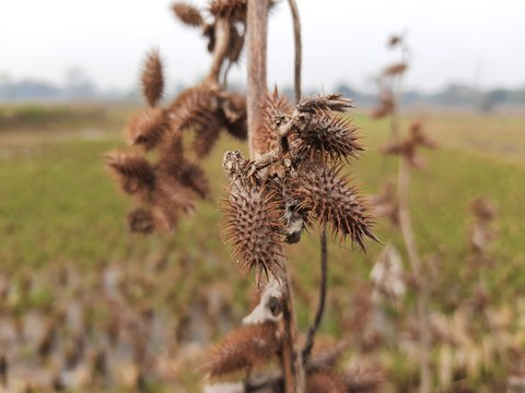 Xanthium strumarium(rough cocklebur,clotbur,common cocklebur,large cocklebur,woolgarie bur) is a species of annual plants of the familyasteraceae.This plant has many medicinal properties.